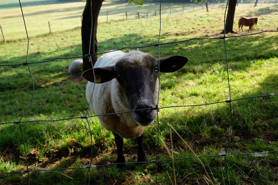 Sheep accompanied my cycling tour.