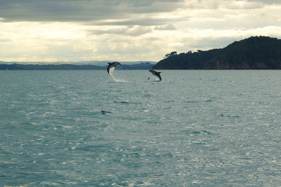 Dolphins in New Zealand's Bay of Islands.