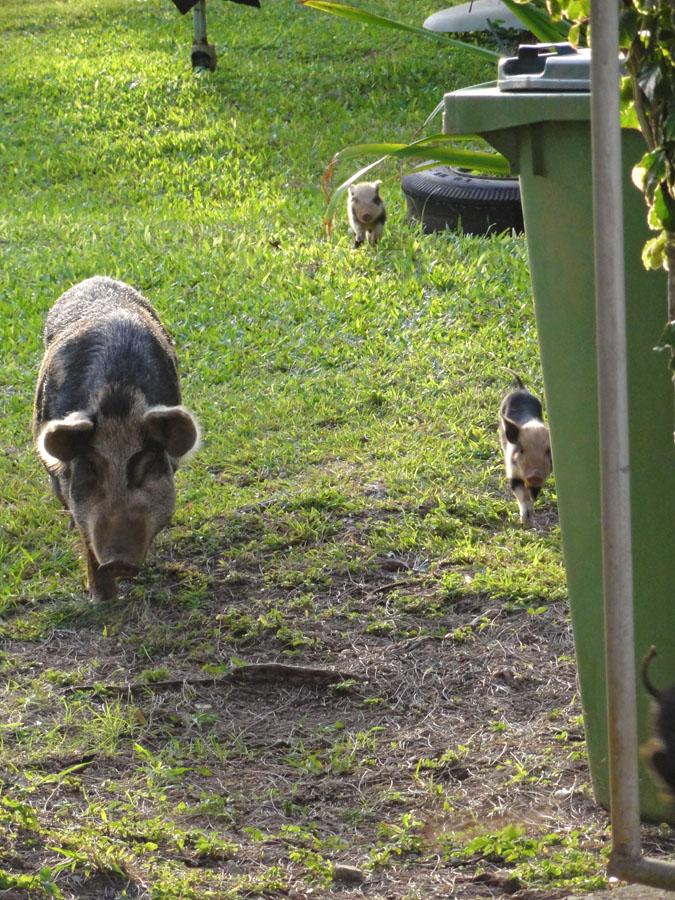 Free range pigs in Tonga.