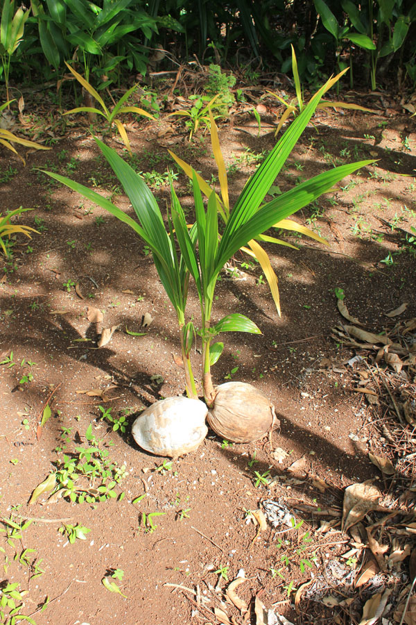Watching coconuts grow in the botanical Gardens of Vava'u, Tonga.