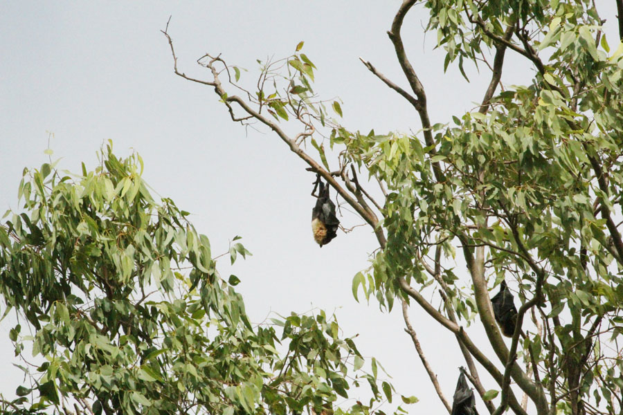 The flying foxes of Kolovai in Tonga.