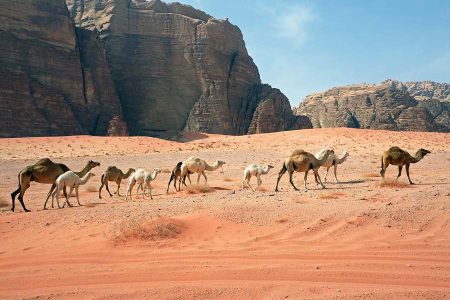 A herd of camels in Wadi Rum