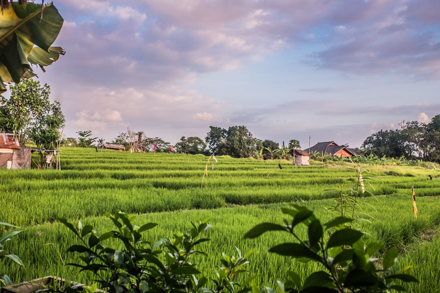 rice fields in Canggu
